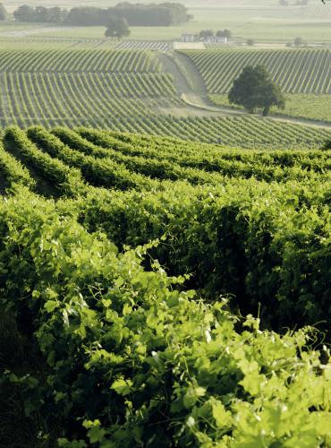 Hennessy Un vignoble cognacais ©Piola Alfredo